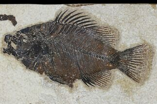 "5.2"" Fossil Fish (Cockerellites) - Green River Formation For Sale, #114305"
