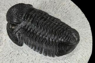 "Buy 1.28"" Detailed Gerastos Trilobite Fossil - Morocco - #117793"