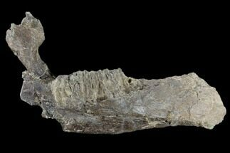 Edmontosaurus annectens - Fossils For Sale - #117954
