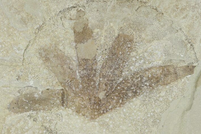 "5.2"" Fossil Climbing Fern (Lygodium) - Green River Formation, Utah"