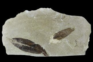 Two Fossil  Leaves (Salix And Lygodium) - Green River Formation, Utah For Sale, #117965