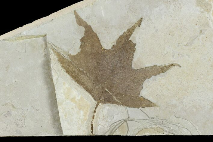 "3.2"" Fossil Sycamore Leaf (Platanus) - Green River Formation, Utah"