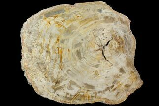 Araucaria sp. - Fossils For Sale - #118599