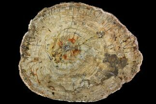 "18.2"" Petrified Wood (Araucaria) Slab - Madagascar  For Sale, #118463"