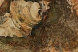 "20.5"" Petrified Wood (Araucaria) Slab - Madagascar  - #118533-1"
