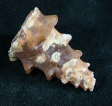 "Agatized Gastropod From Morocco - 1"" For Sale, #7397"