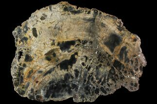 "Buy 16.5"" Petrified Wood (Araucaria) Slab - Madagascar  - #118573"