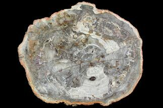 "15.6"" Petrified Wood (Araucaria) Slab - Madagascar  For Sale, #118598"