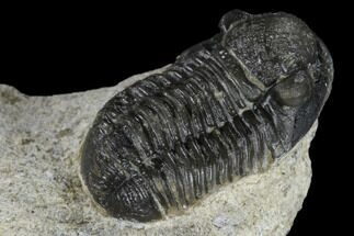 "Buy .87"" Detailed Gerastos Trilobite Fossil - Morocco - #118999"