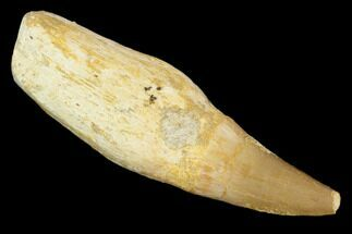 "2.4"" Fossil Rooted Mosasaur (Eremiasaurus) Tooth - Morocco For Sale, #117002"