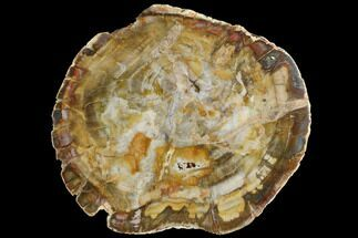 "6.3"" Petrified Wood (Araucaria) Slab - Madagascar  For Sale, #118838"