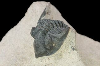 "Bargain, 1.1"" Metacanthina Trilobite - Lghaft, Morocco For Sale, #119828"