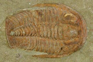 Euloma sp. - Fossils For Sale - #120147