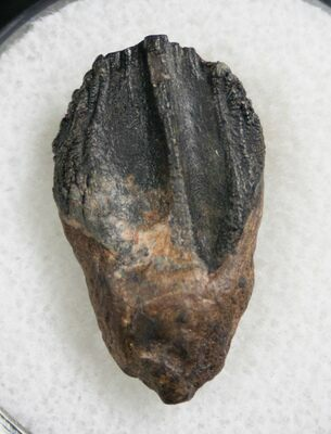 Partially worn Triceratops tooth