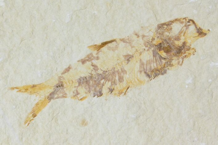"2.7"" Detailed Fossil Fish (Knightia) - Wyoming"