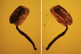 Buy Fossil Flower Stamen In Baltic Amber - #120664