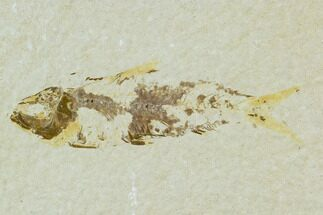 "Bargain 2.7"" Fossil Fish (Knightia) - Wyoming For Sale, #120683"