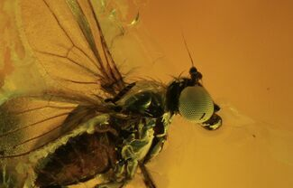 Fossil Fly (Diptera) In Baltic Amber - Great Eyes For Sale, #120674