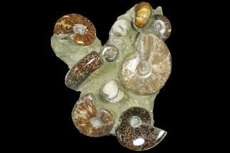 "9.3"" Tall, Composite Ammonite Fossil Sculpture For Sale, #120701"
