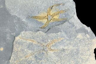 Buy Two Ordovician Brittle Stars (Ophiura) - Morocco - #118693