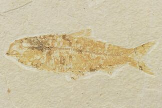 "Buy Bargain, 3.7"" Fossil Fish (Knightia) - Wyoming - #121009"
