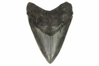 Carcharocles megalodon - Fossils For Sale - #121419