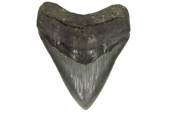 "Serrated, 4.81"" Fossil Megalodon Tooth - South Carolina"