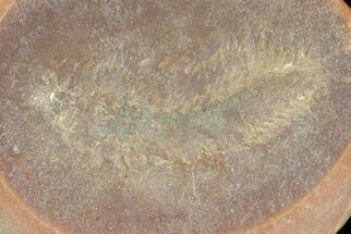 "Buy .9"" Fossil Polychaete Worm (Astreptoscolex) - Great Detail! - #120934"