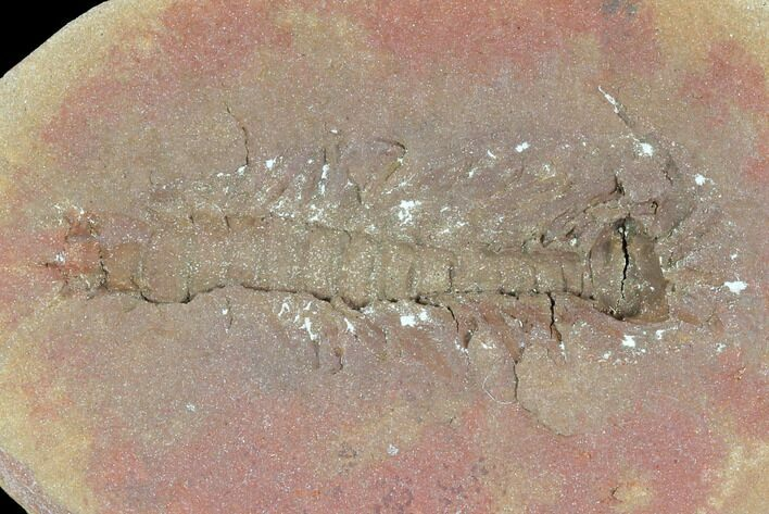 "1.2"" Fossil Syncarid Shrimp (Acanthotelson) - Mazon Creek"