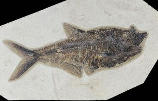 "10.1"" Fossil Fish (Diplomystus) - Green River Formation For Sale, #117134"