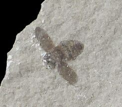 ".2"" Fossil Bee (Hymenoptera)- Green River Formation, Utah For Sale, #109208"