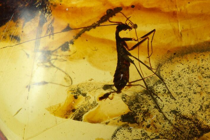 3.7mm Fossil Mantis (Gryllomantidae) In Amber - Myanmar
