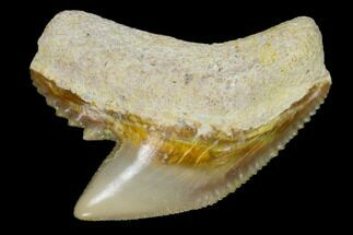 "1.01"" Fossil Tiger Shark Tooth - Bone Valley, Florida For Sale, #122570"