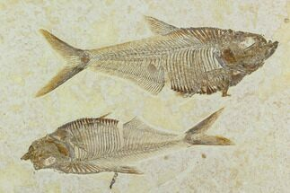 Two Fossil Fish (Diplomystus) - Green River Formation For Sale, #122669