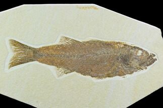 "8.1"" Uncommon, Fossil Fish (Mioplosus) - Wyoming For Sale, #122672"