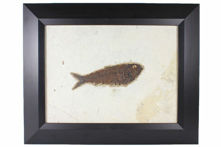 "6.4"" Framed Fossil Fish (Knightia) - Wyoming"