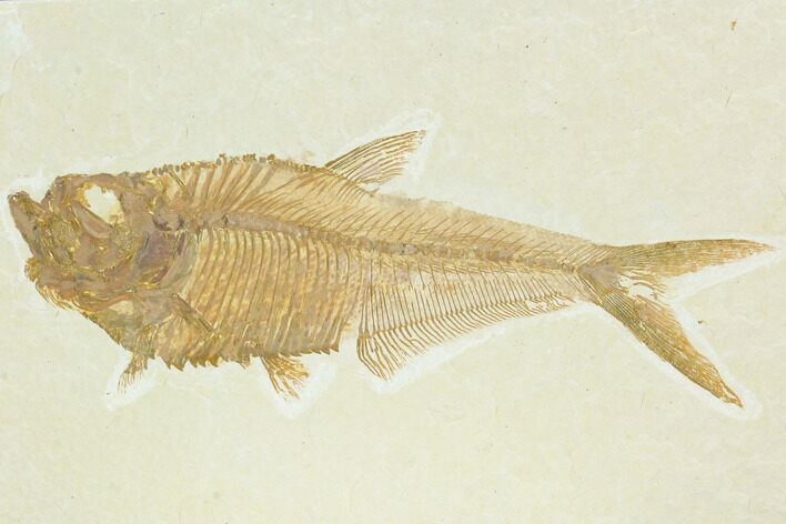 "5"" Fossil Fish (Diplomystus) - Green River Formation"