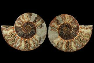 Cleoniceras - Fossils For Sale - #122412