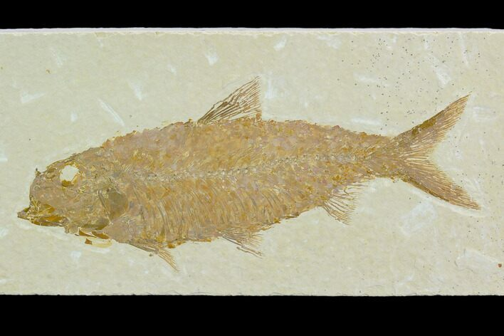 "4.3"" Fossil Fish (Knightia) - Green River Formation"