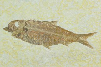 "4.3"" Fossil Fish (Knightia) - Green River Formation For Sale, #122795"