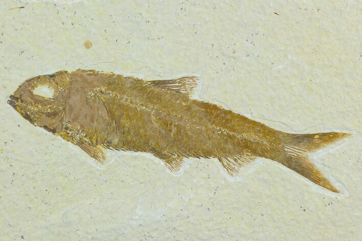 "4.2"" Fossil Fish (Knightia) - Green River Formation"