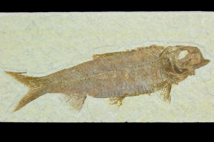 "4.0"" Fossil Fish (Knightia) - Green River Formation"