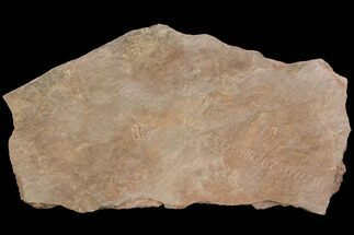 Unidentified - Fossils For Sale - #118293