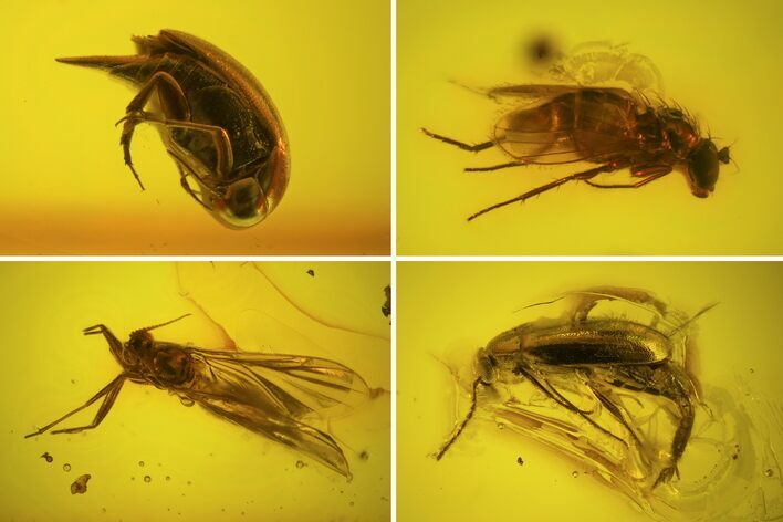 Two Fossil Beetles And Two Flies In Baltic Amber