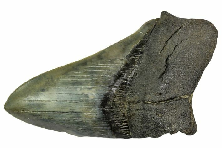 "4.83"" Partial Fossil Megalodon Tooth - Serrated Blade"