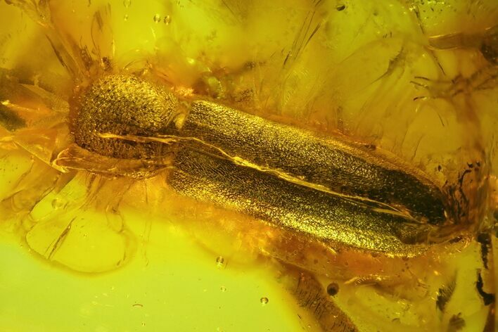 7mm Fossil Beetle (Coleoptera) In Baltic Amber
