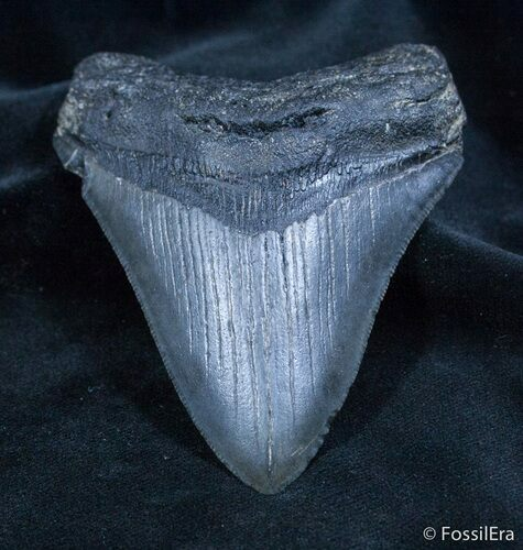 Sharp 3.8 Inch Georgia Megalodon Tooth