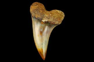 "1.37"" Colorful Mako/White Shark Tooth Fossil - Sharktooth Hill, CA For Sale, #122693"