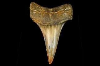 Carcharodon (Isurus) sp. - Fossils For Sale - #122715