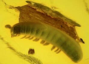 2.5mm Fossil Millipede (Polyxenidae) In Baltic Amber For Sale, #123404